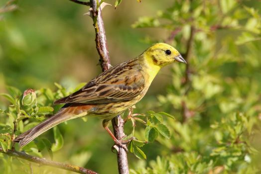 Yellowhammer 15-7-18 by pell21