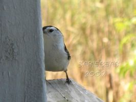 White breasted Nuthatch by Sariebear20