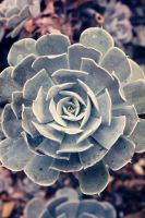 Succulent by Karl-B