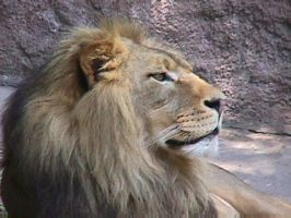 Lion 2 by dtf-stock