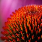 echinacea by augenweide