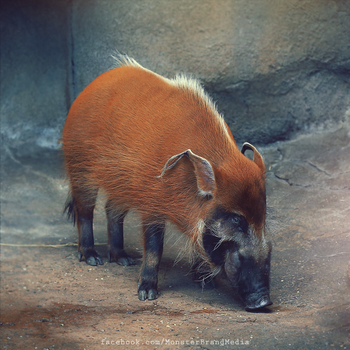 Day 219 - Red River Hog by MonsterBrand