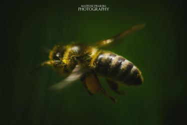 Bee in flight. by MateuszPisarski