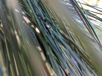 Pine needles of green by Naturevulpex