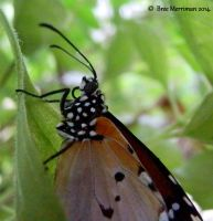 Monarch Butterfly by BreeSpawn