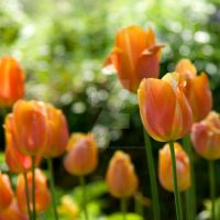 dreamy tulip flowers by photographybypixie