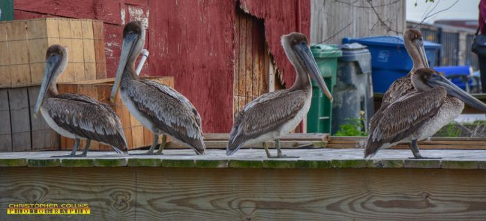 Pelicans sitting at the Dock March 5, 2017 by ENT2PRI9SE