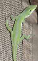 Anole 0586 by Aazari-Resources