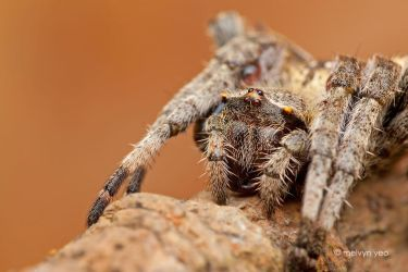 Orb-weaver spider by melvynyeo