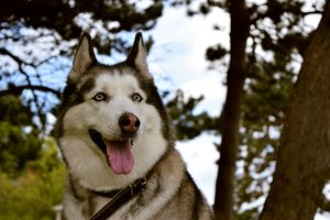 Iskra my husky dog by IgnacioRC