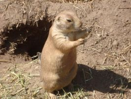 Prairie Dog Six by itsayskeds