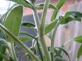 sage plant by stupidstock