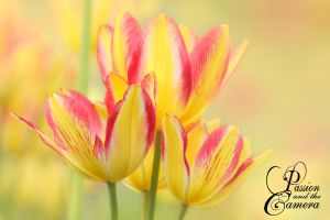 Chameleon Tulips by PassionAndTheCamera