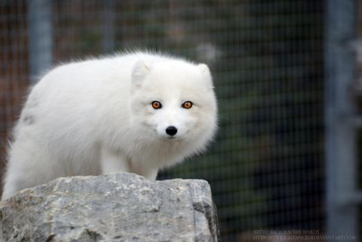 Arctic Fox 10 by 8TwilightAngel8