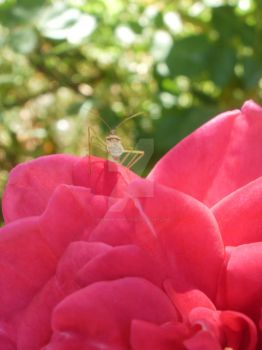 Red rose and a little buggy by thumbinyoureye