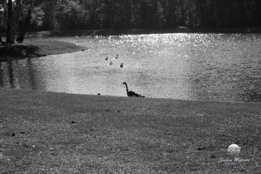 Geese at the Lakeside 6 by meunierjj