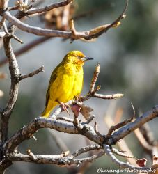Cape Weaver by Okavanga