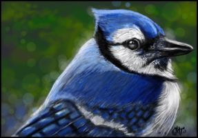 Bluejay by catbones