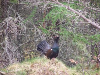 capercaillie by mwmin21