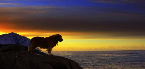RETRIEVER IN A GOLDEN SUNSET by steinliland