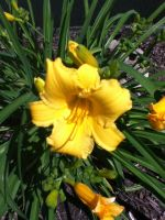 Daylilies by MIZTER-ROOTBEER