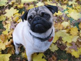 Fall Pugs - Luke by pepperbunbun