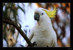 Sulphur Crested Cockatoo 1. by Inadesign