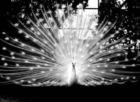 white peacock by knightwyvern