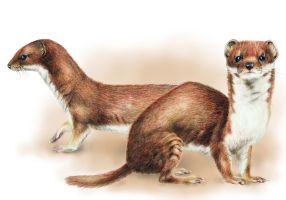 European Weasel by NefelisSt