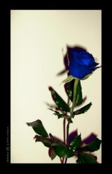 Blue rose... by xaninha