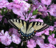 Swallowtail on Pink Dianthus by Foozma73
