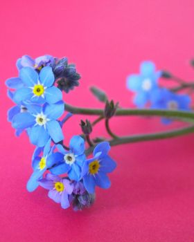 Forget Me Not.. by NaturesTouch
