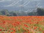Poppies No. 4 by SymphonicA19