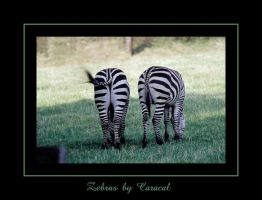 Zebras by caracal