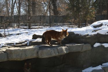 Dhole Stock Photo by PlaidRed