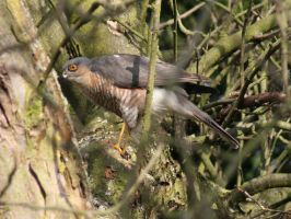 Eurasian Sparrowhawk I by TheRealThalion