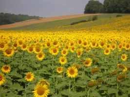Sunflower Field 1195007 by StockProject1