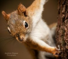 Red Squirrel by AEisnor