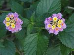 Lantana Flowers by LaMoonstar