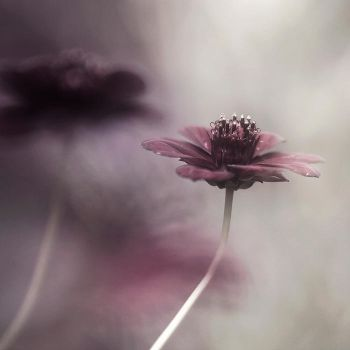 Chocolate Cosmos by Cristel-m