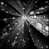 SQ: Crying leaf colorless by DecoyRobot