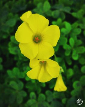 Yellow Woodsorrel by BivinsPhotography