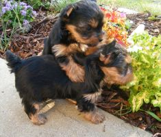 Brother and Sister. by Show-us-Yorkies