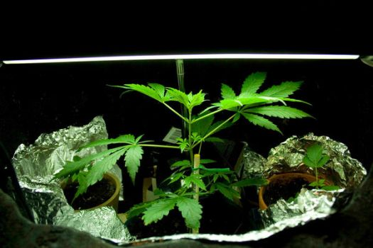 Plant - 1 Month by The-Stoner-Diaries