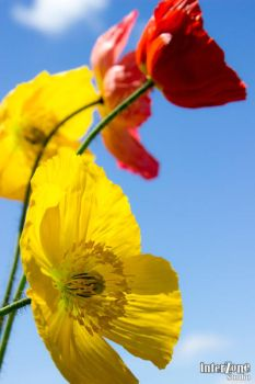 Red and yellow poppies by Zone-studio