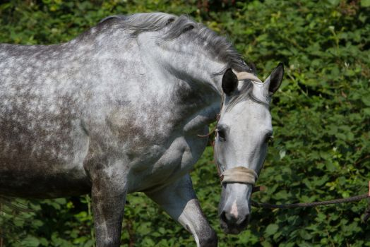 Beautiful Dappled Grey Mare on Paddock 7 by LuDa-Stock