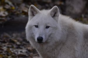 New White Wolves 19 by Lakela