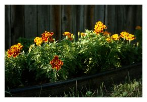 2017-268 Marigolds by pearwood