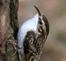 Tree Creeper by NurturingNaturesGift
