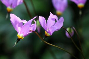 swinging in the sun by dodecatheon